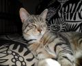 treatment of cat diabetes