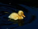 2687862.Yellowduckling