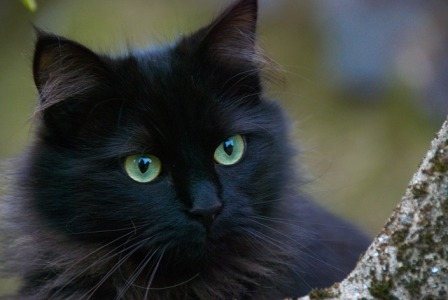 Common Myths about Black Cats