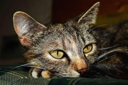 Urinary Diseases in Cats