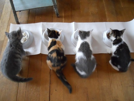 Homemade food for cats cat diabetes cat care homemade food for cats forumfinder Image collections