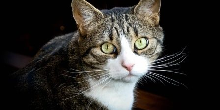 Cats most likely to suffer from diabetes cat diabetes cat care cats most likely to suffer from diabetes forumfinder Gallery