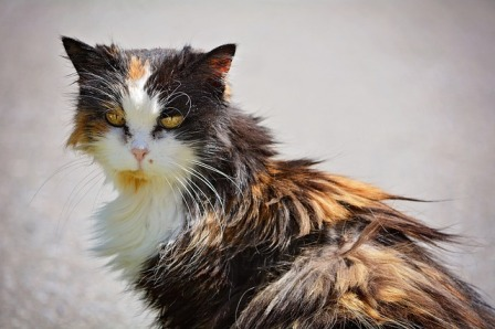 What Causes Dull Hair Coat in Cats?