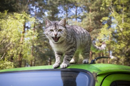 What to Do When a Cat Does Not Like Car Rides