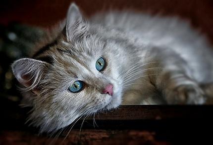 Can Cats Get Cowpox?