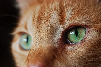 Eye Infection in Cats