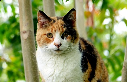How Does Genetics Affect Calico Cats?