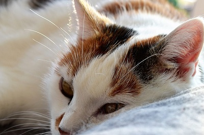 How to Reduce Fever in Cats?