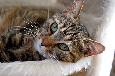 How Dangerous Is Heartworm Disease in Cats?