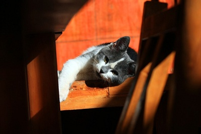 Symptoms of Fever in Cats
