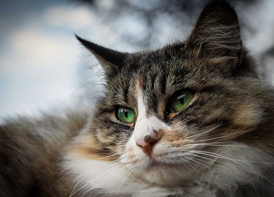 Symptoms of Diabetes in Cats