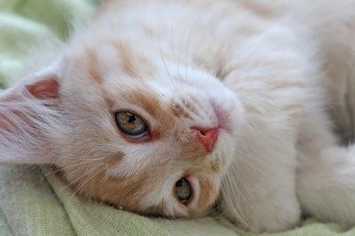 Causes of Anemia in Cats